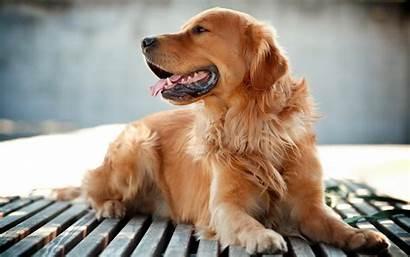 Golden Dog Retrievers Retriever Desktop Animals Wallpapers