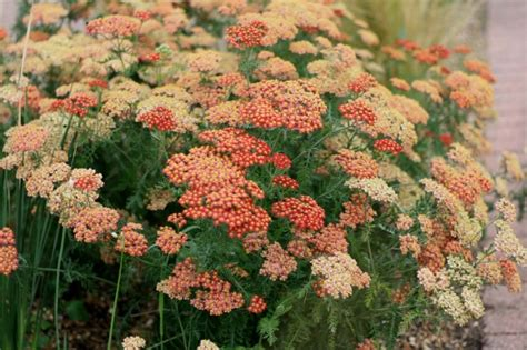 flowers to plant in late summer late summer flowers for your garden growing nicely