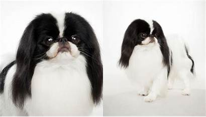 Chin Japanese Breed Dog Breeds Dogs Lg