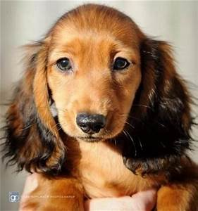 Miniature Long Haired Dachshund Male 1 3 Months Shaded