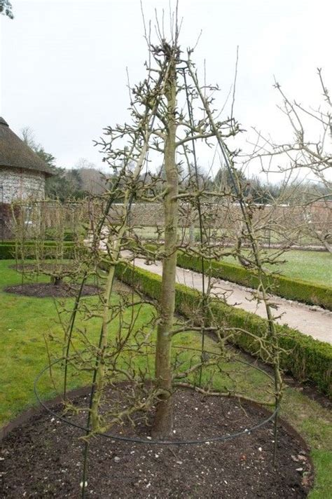 pruning apple trees in autumn 94 best images about espalier on pinterest gardens trees and pears
