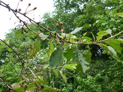 feige blätter braune flecken hortensien krankheiten fotos hortensie krankheiten h ufige krankheiten bei hortensien h ufige