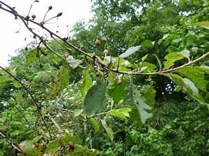 Pilze Auf Komposthaufen : kirschbaum bl tter haben braune flecken ~ Lizthompson.info Haus und Dekorationen