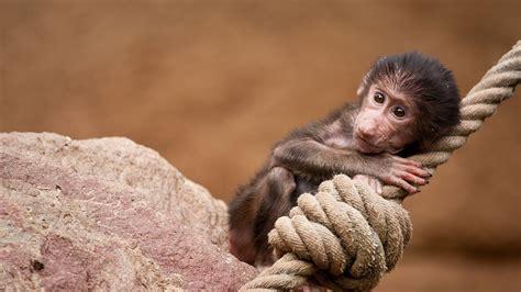 Wallpaper Rope Mini Monkey 1920x1200 Hd Picture, Image