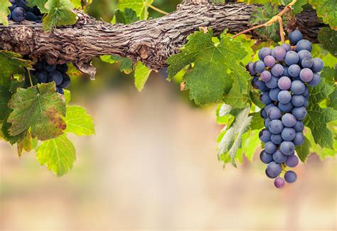 picture of grapes on a vine fresh off the vine linehan s concord grapes a fresh take