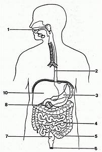 Unlabeled Digestive System Diagram
