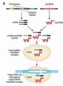 The Almighty Crispr