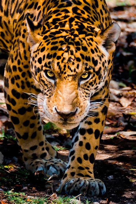 jaguar cat fantastic 25 best ideas about jaguar animal on