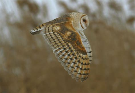 The [un]common Barn Owl