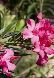 Laurier Rose Maladie : hivernage du laurier rose en pot gamm vert ~ Melissatoandfro.com Idées de Décoration