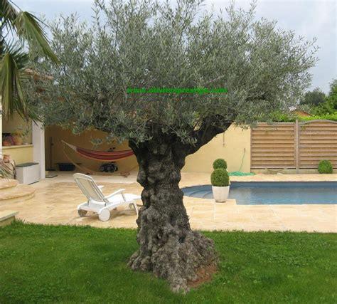 taille des oliviers en pots oliviers prestige vente oliviers grand choix toutes formes
