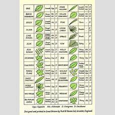 Leaf Identification  Gardening Tips  Tree Leaf Identification, Leaf Identification, Tree