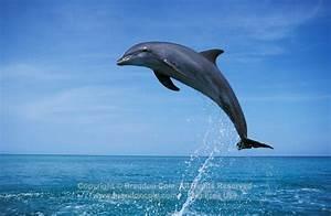 Image - My702-brandon-cole-bottlenose-dolphin-jumping-blue ...
