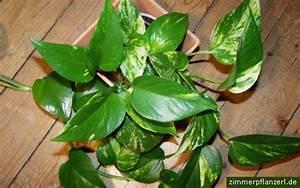 Efeu Als Zimmerpflanze : kugelbert welche zimmerpflanzen sind f r anf nger geeignet ~ Indierocktalk.com Haus und Dekorationen