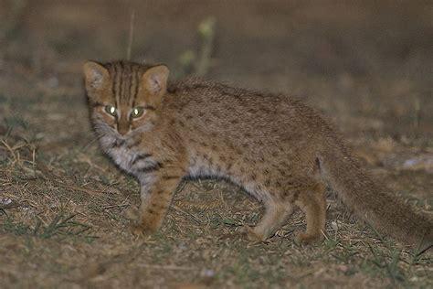 rusty cat spotted nagarahole india sighting rust vishwanath conservationindia