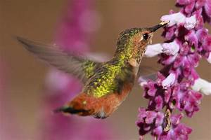 Allens Hummingbird Photograph by Paul Marto
