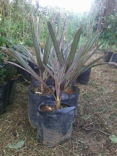 Mudas De Palmeira Azul Bismarckia Nobilis | Mercado Livre