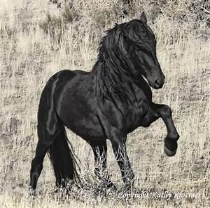 Black Stallion Midnight Star - Wild Black Horse