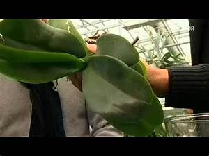 Orchideen Umtopfen Video : orchideen tipps youtube ~ Watch28wear.com Haus und Dekorationen