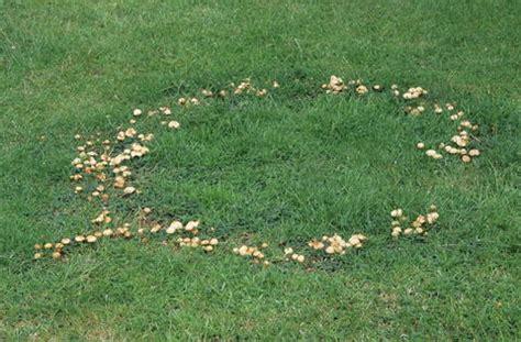 Pilze Im Rasen Schneiden hexenringe pilze im rasen bek 228 mpfen mein sch 246 ner garten