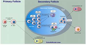Activation Of Follicular  Fo  B Cells And Germinal Center