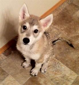 155 best images about ღ Tamaskan on Pinterest   Wolves ...