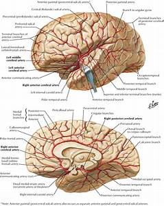 Arterial Supply To Brain Posterior Cerebral Artery  Pca   Segments  U0026 Branches