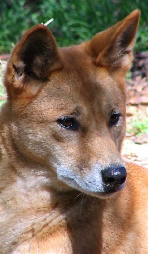 dingo facts animal facts encyclopedia
