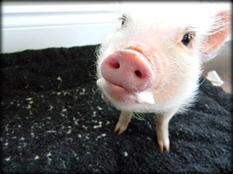 pet food mini pigs foam at the with a mini pig