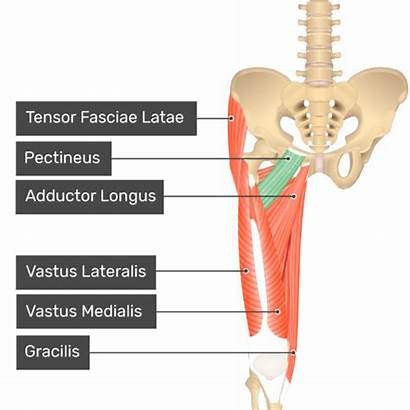 Adductor Pectineus Gracilis Magnus Brevis Muscle Muscles
