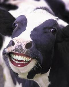 Funny Animals: Funny Cow Face