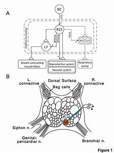 R15 Neuron Of Aplysia   A   Schematic Diagram Of The Known
