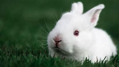Rabbit Desktop Wallpapers Bunny Rabbits Hq