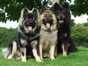 Eurasier Dog Breed