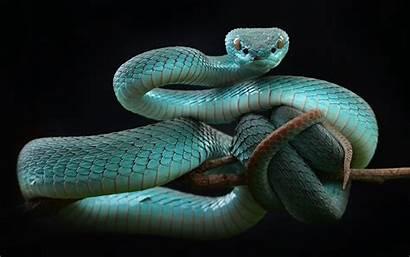 Snake Reptiles Animals Badass Desktop Wallpapers Viper