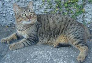 cat grown pixie bob cat breed info history personality care