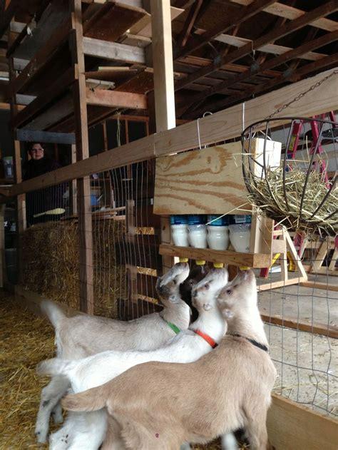 simple goat bottle holder goat farming