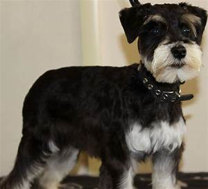 Black And Silver Mini Schnauzer Pictures to Pin on ...