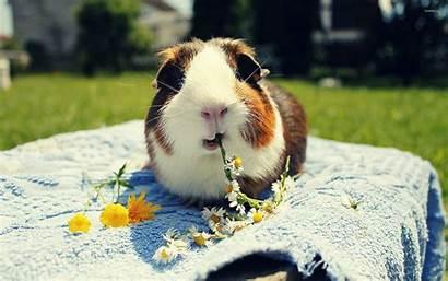 Pig Guinea Eating Daisies Tengerimalac Meerschweinchen Wallpapers
