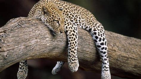 Hd Animal Wallpapers For Mac - nature forest animals leopard wallpapers hd desktop
