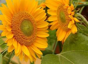 HELIANTHUS annuus SUNRICH GOLD