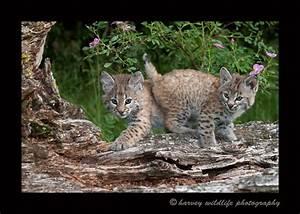 Bobcat Twins: Wildlife Babies; AKA The Cute Zone: Harvey ...