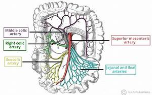 Superior Mesenteric Artery  Sma