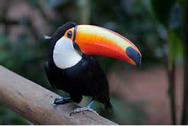 Toco Toucan Photos  Baby Toco Toucans