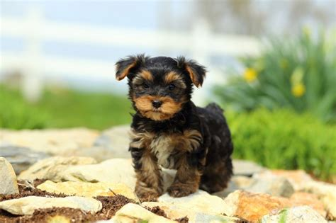 Yorkshire Terrier Mini Züchter