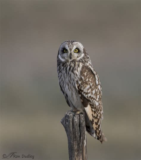 short eared owl    wooden fence post feathered