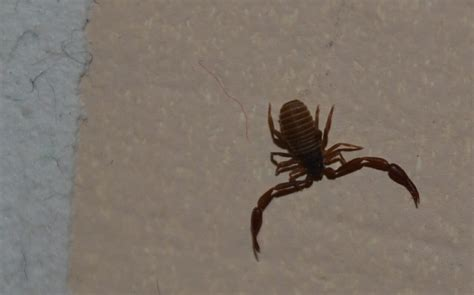 Pictures Of Bugs That Look Like Scorpions Lesbian