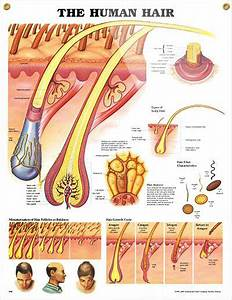 The Human Hair Anatomy Poster Shows Detailed Anatomical
