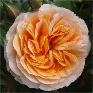 Apricot Floribunda Rose