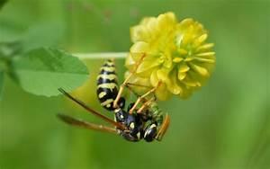 Pflanzen Gegen Wespen : pflanzen gegen wespen pflanzen gegen m cken 15 pflanzliche m ckenfeinde bildquelle duc dao ~ Orissabook.com Haus und Dekorationen